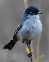 Adult male California gnatcatcher