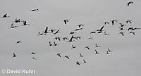 0102-1020  Flock of Sandhill Cranes in Flight, Grus canadensis  © David Kuhn/Dwight Kuhn Photography