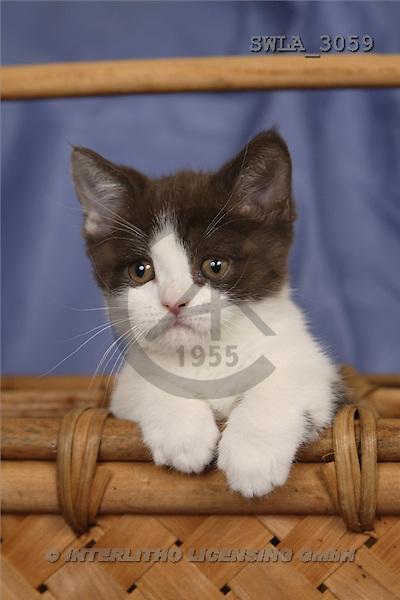 Carl, ANIMALS, photos, blue white kitten(SWLA3059,#A#) Katzen, gatos