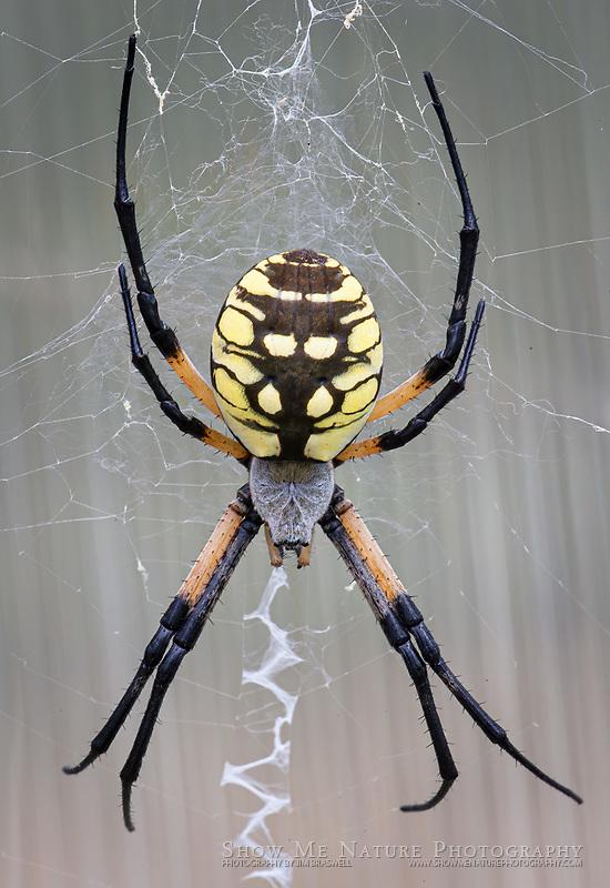 Garden spider on his web