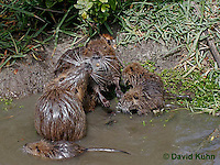 0715-0813  Family of Nutria (syn. Coypu), Myocastor coypus © David Kuhn/Dwight Kuhn Photography
