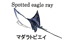 ocellated eagle ray, Aetobatus ocellatus. Palau, Micronesia. Illustration