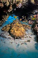ornate wobbegong, Orectolobus ornatus, resting, with reef fish, Manta Bommie, North Stradbroke Island, near Brisbane, Queensland, Australia, Coral Sea, Pacific Ocean