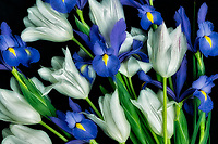 Boquet of tuliups and iris.