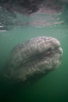 Curious California Gray whale calf (Eschrichtius robustus) approaches the panga underwater in San Ignacio Lagoon on the Pacific Ocean side of the Baja Peninsula, Baja California Sur, Mexico. Each winter thousands of California gray whales migrate from the Bering and Chukchi seas to breed and calf in the warm water lagoons of Baja California. San Ignacio lagoon is the smallest of the three major such lagoons. Current (2008) population estimates put the California Gray whla at between 20,000 and 24,000 animals.