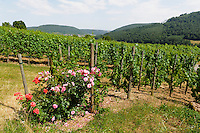 am fränkischen Rotweinwanderweg in den Winbergen von Bürgstadt, Bayern, Deutschland