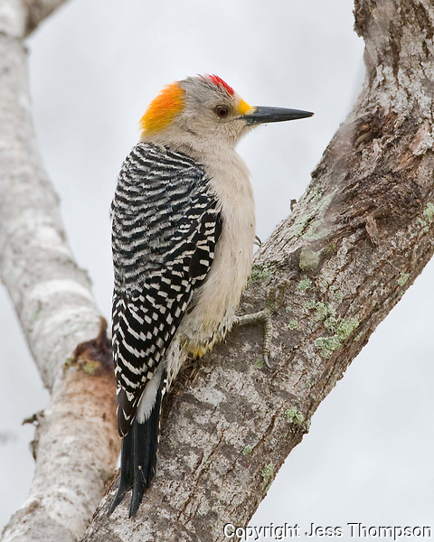 Golden-fronted Woodpecker, Choke Canyon State Park, TX