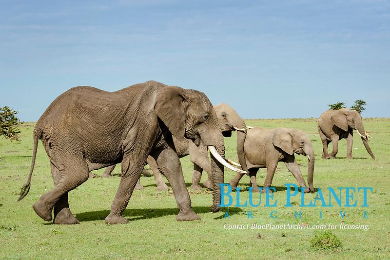 African Elephant (Loxodonta africana), Masai Mara, Kenya