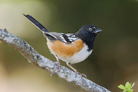 Spotted Towhee, Pipilo maculatus, male, Uvalde County, Hill Country, Texas, USA, April 2006