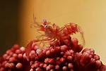 Horned Sea Pen Shrimp, Dasycaris ceratops, Lembeh Straits, Sulawesi Sea, Indonesia,