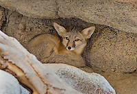 Kit fox (Vulpes macrotis) tucked into cleft of rock.  Small desert fox found primarily in the American desert southwest.  Sonoran Desert, CA.