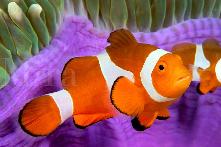 As you move east from Malaysia the western clown anemonefish, Amphiprion ocellaris, pictured here, is replaced with the eastern clown anemonefish, Amphiprion percula.  Mabul Island, Malaysia.