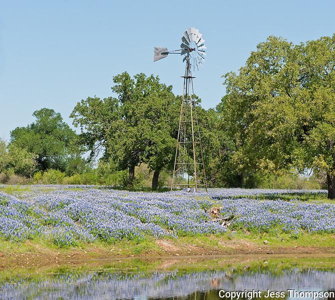 Bluebonnets, Kingsland, Texas