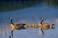 Canada geese (Branta canadensis) family