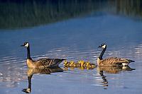 Canada geese (Branta canadensis) family