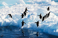 Adelie penguins, Pygoscelis adeliae, leaping from the water, Cape Hallet, Antarctica