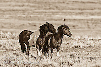 wild horses,fighting MustangsMcCullough Peaks Mustangs Wild Horse Photography by western photographer Jess Lee. Pictures of mustangs in the West. Fine art images,Prints,photos Wild horse photo,wildhorses in the american west,