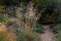 Stipa gigantea, Giant Feather Grass flowering ornamental bunchgrass in UC Davis Arboretum, Storer Garden
