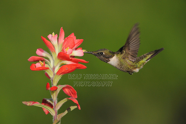 Ruby-throated Hummingbird (Archilochus colubris), male feeding on Texas Paintbrush (Castilleja indivisa), Fennessey Ranch, Refugio, Coastal Bend, Texas Coast, USA