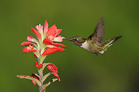 Ruby-throated Hummingbird (Archilochus colubris), male feeding on Texas Paintbrush (Castilleja indivisa), Fennessey Ranch, Refugio, Coastal Bend, Texas Coast, USA