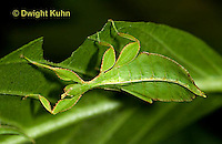 Walking Sticks, Leaf Insects