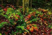 Witch Hobble and Red Maple In autumn in the Siamese Ponds Wilderness Area In the Adirondack Mountains Of New York State