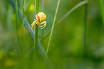 Goldenrod Crab Spider (Misumenia vatia) in meadow vegetation. Nordtirol, Austrian Alps, Austria, July.