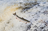 Atlantic Salmon (Salmo salar) adult leaps up falls while migrating upstream to spawning grounds. Humber River, Newfoundland. Canada.