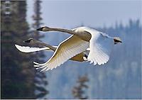 A pair of trumpeter swans flies over Beaver Creek, Alaska.