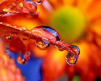 Red chrysanthemum reflecting in dew drop
