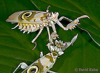 "0307-07rr  Fighting Spiny Flower Mantis (#9 Mantis) - Pseudocreobotra wahlbergii ""Female"" - © David Kuhn/Dwight Kuhn Photography"