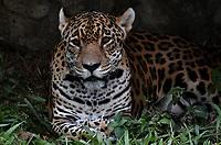 CALI - COLOMBIA - 27 - 09 – 2017: Jaguar (Panthera Onca), especie de felino en el Zoologico de Cali, en el Departamento del Valle del Cauca.  / Jaguar (Panthera Onca), a feline species at the Cali Zoo, in the Department of Valle del Cauca. / Photo: VizzorImage / Luis Ramirez / Staff.