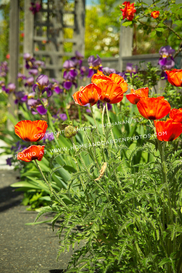 Shallow focus garden vignette of bright orange Oriental Poppies in full sun in a front border in Seattle, backed by royal purple bearded irises and a wooden fence in soft focus behind.