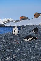 Chinstrap and Gentoo penguins - Half Moon Bay Island