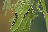 Schönbär, Raupe, Jungraupe, Callimorpha dominula, Panaxia dominula, scarlet tiger moth, caterpillar, L'écaille marbrée, écaille rouge, Bärenspinner, Arctiidae, Arctiinae, erebid moths, erebid moth, woolly bears, woolly worms