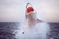 great white shark, Carcharodon carcharias, breaching out of water to seize imitation seal towed as a lure, False Bay, South Africa (2 of 9)