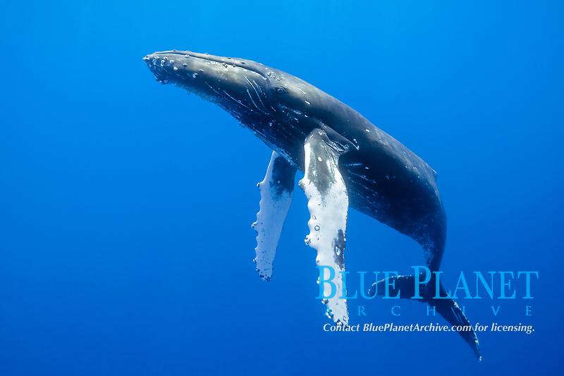 humpback whale, Megaptera novaeangliae, Kohala Coast, Big Island, Hawaii, USA, Pacific Ocean