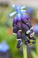 Muscari grandifolium grape hyacinth spring flowering blue and purple bulb