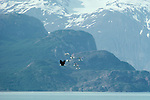 Bald eagles are often harassed by the very birds that they prey upon, in this case herring and glaucous-winged gulls, Glacier Bay National Park and Preserve, Alaska.