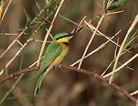 Little Bee Eater on the banks of the Kavango River that separates Namibia from Angola