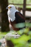 Europe/Europe/France/Midi-Pyrénées/46/Lot/Rocamadour: Ecoparc du Rocher des Aigles: parc d'oiseaux: rapaces - Pygargude vocifère, Haliaeetus vocifer, Aigle pêcheur