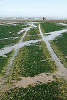 Traces de tracteurs utilises pour la mytiliculture