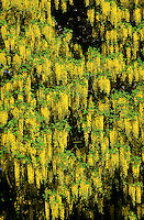 Gewöhnlicher Goldregen, Laburnum anagyroides, Common Laburnum, Golden Chain