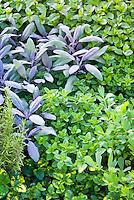 Herbs garden mixture, rosmarinus rosemary and salvia officinalis purpurascens purple sage, flat-leaf parsley Petroselinum, oregano Origanum, peppermint mentha, variegated lemon balm, variety