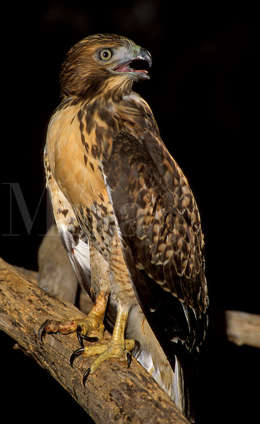 Red-tailed Hawk (Buteo jamaicensis) on roost (in captivity)
