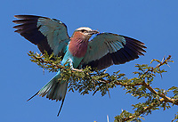 The ubiquitous and colorful Lilac-breasted roller is a popular subject... I'm always trying to get better takeoff and landing shots.