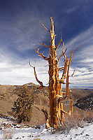 Bristlecone pines and White Mountians at sunrise (Sierra Mountains in background), Inyo National Forest, White Mountains, California, USA