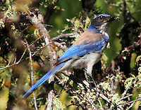 Western scrub-jay Pacific form with insect