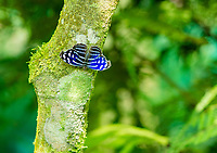 A Blue Wave Butterfly, Myscelia cyaniris, perches on a tree in the butterfly garden (mariposario) at Restaurante Selva Tropical, Guapiles, Costa Rica