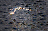 A Ring-billed gull with wings spread wide floats in the air above the rippling waters of the duck pond at San Lorenzo Park, San Lorenzo, California.